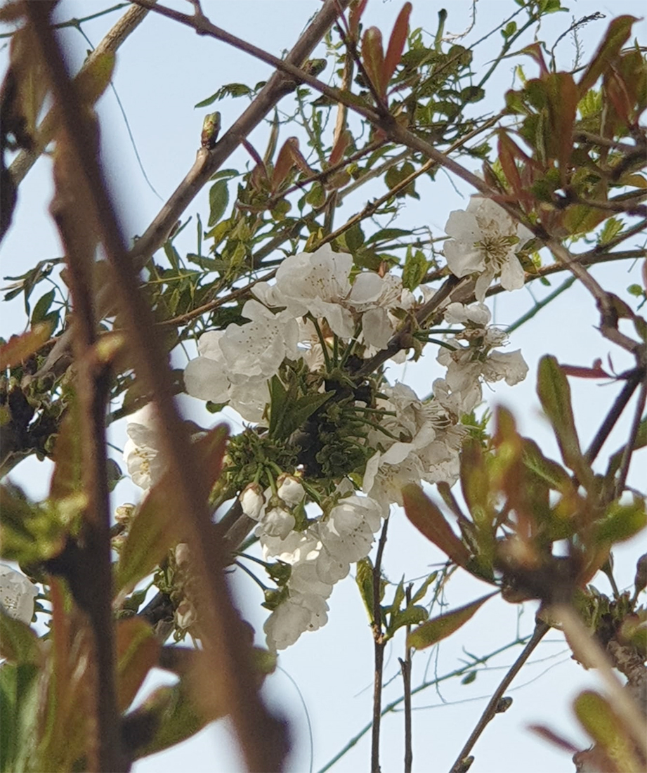 פריחת הדובדבן | יערה שילה בלוג אישי לראות את האור